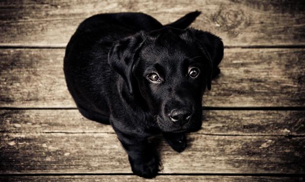 Black Dog Watching Up
