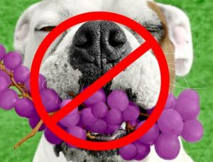 dogs eat grapes