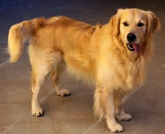 adult golden retriever happy