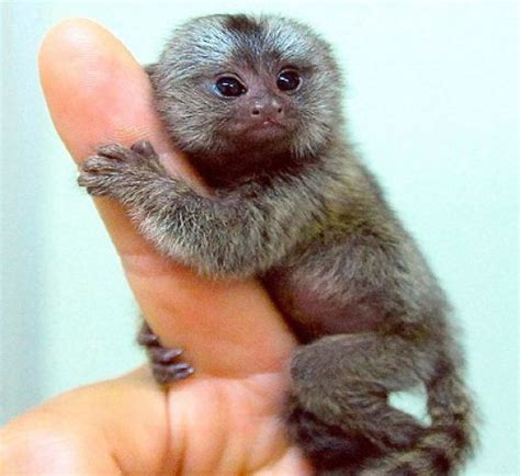 The Cutest Animal On Earth – The Finger Monkey