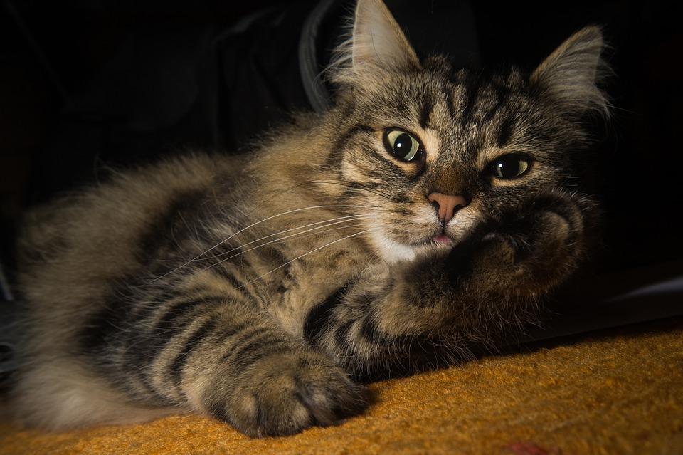 The Beautiful Norwegian Forest Cat