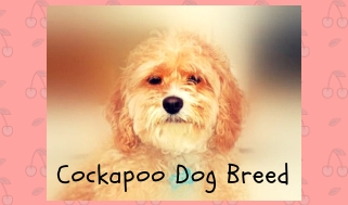 Everything You Need To Know About Cockapoos