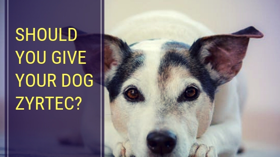 Should You Give Your Dog Zyrtec?