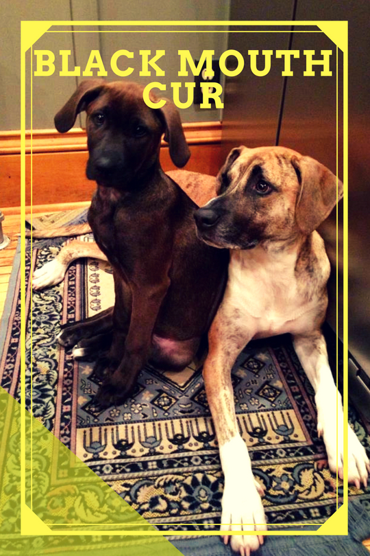 A Guide to the Black Mouth Cur