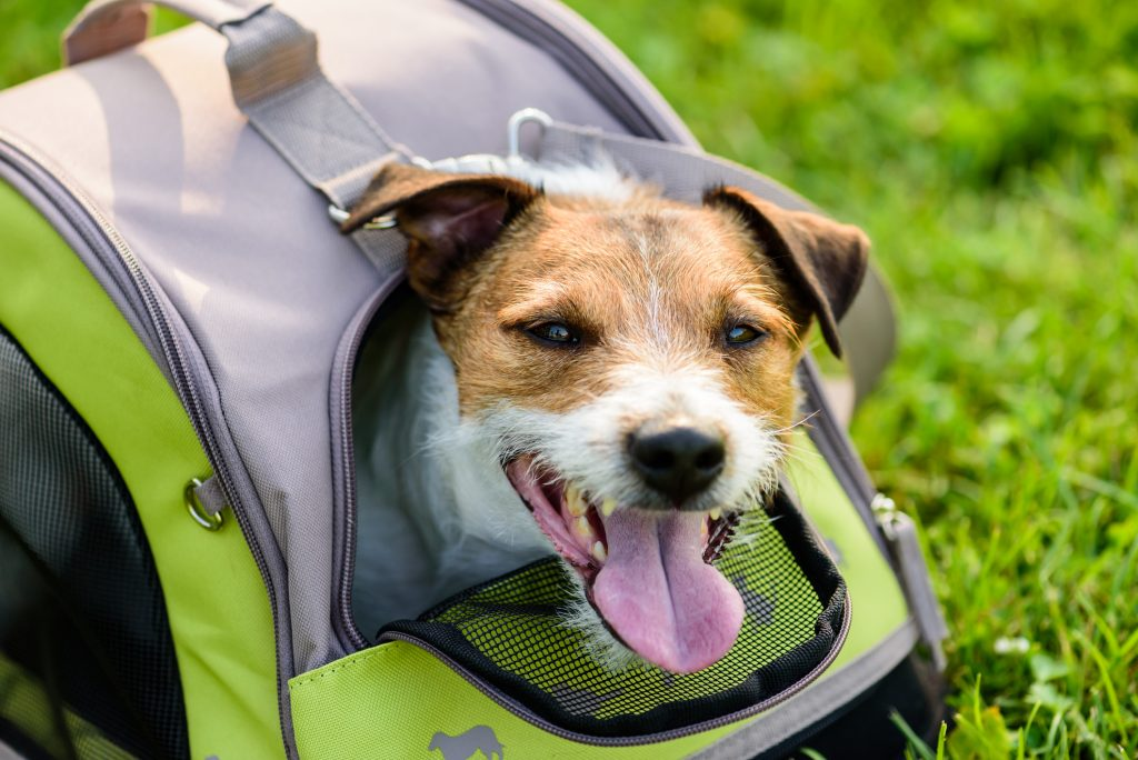 Jack Russell Terrier inside pet tote on green grass