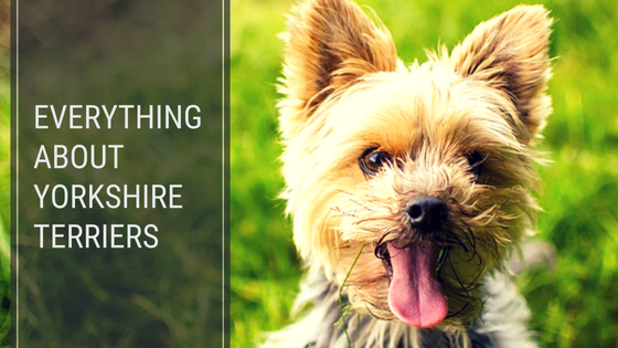 Yorkshire Terriers looking at you