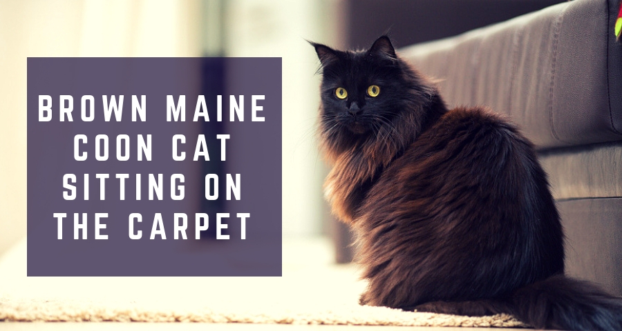 Brown maine coon cat sitting on the carpet