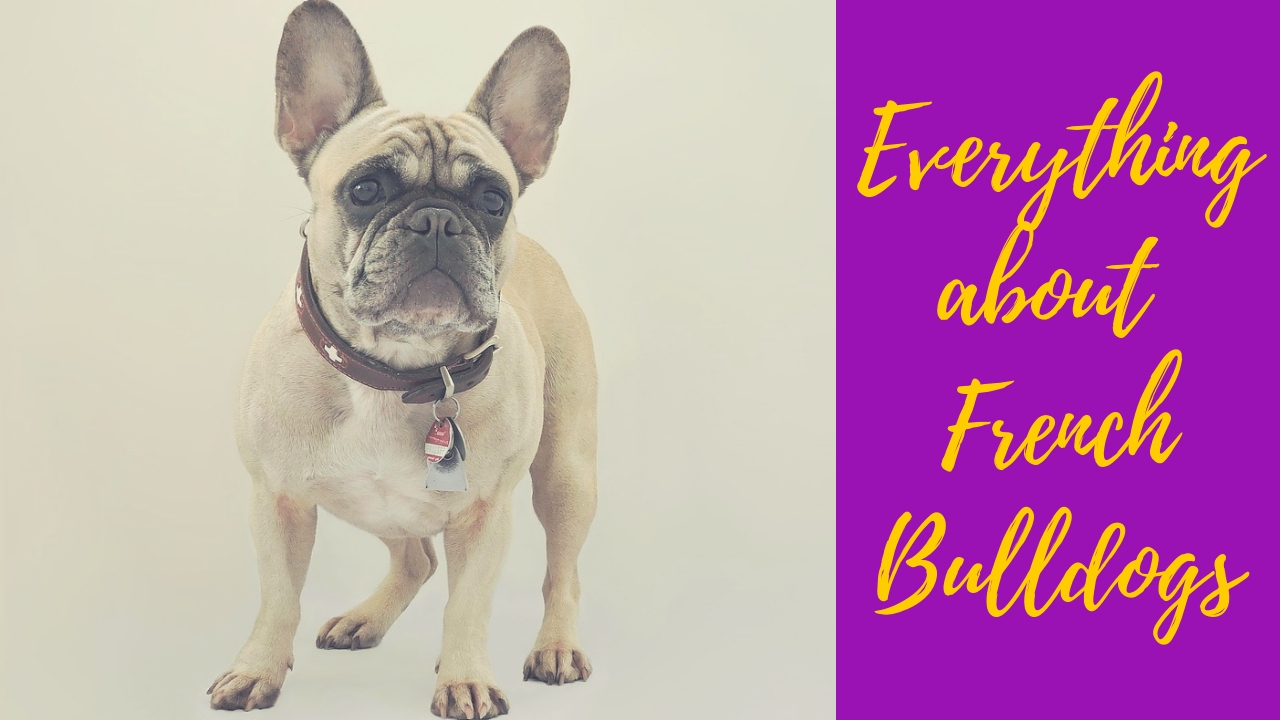 French Bulldog standing and looking forward