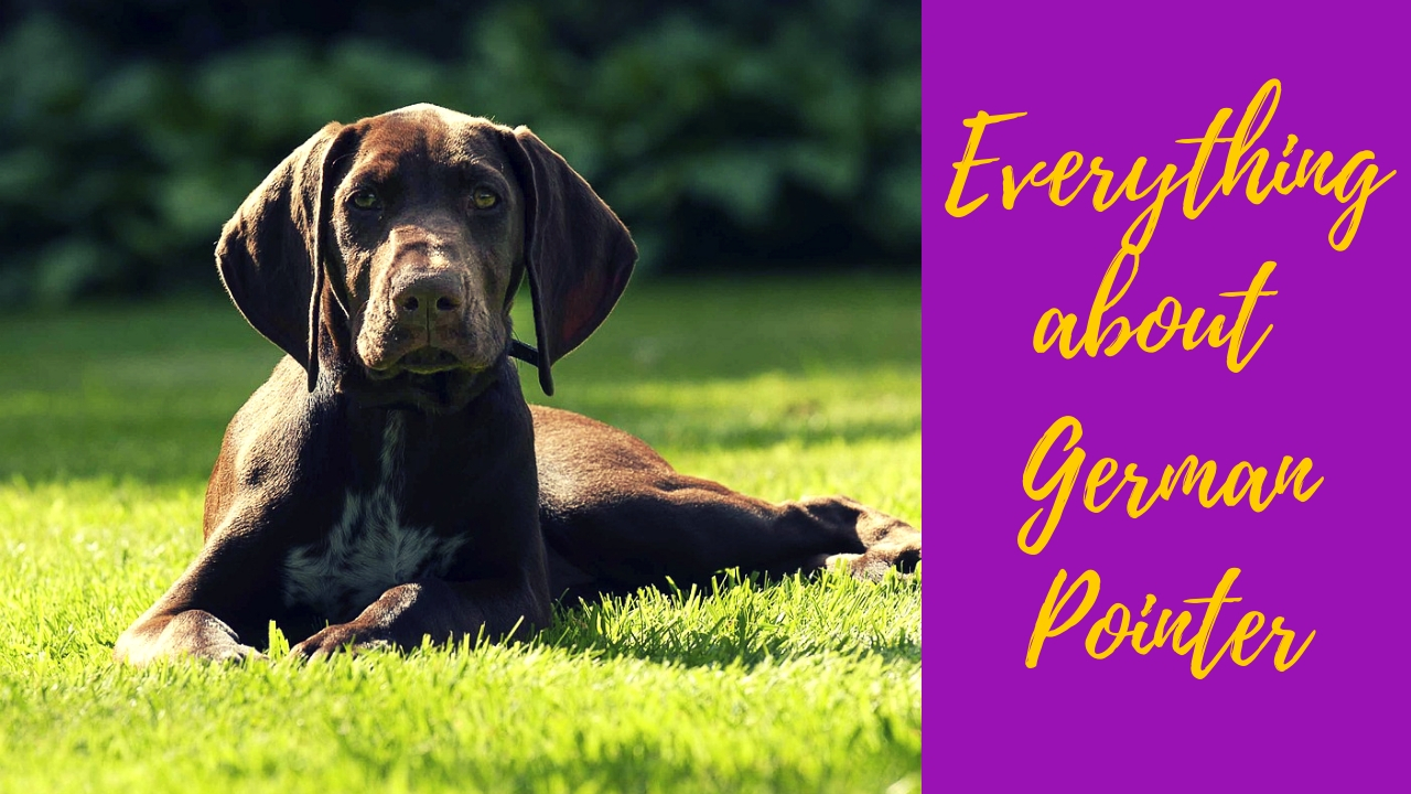 German Pointer sitting on the grass at bright daylight