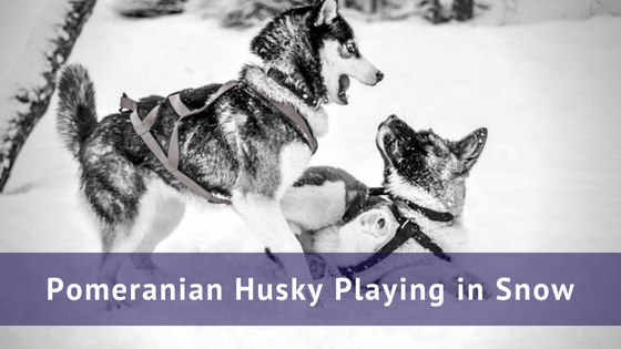Pomeranian husky playing in snow