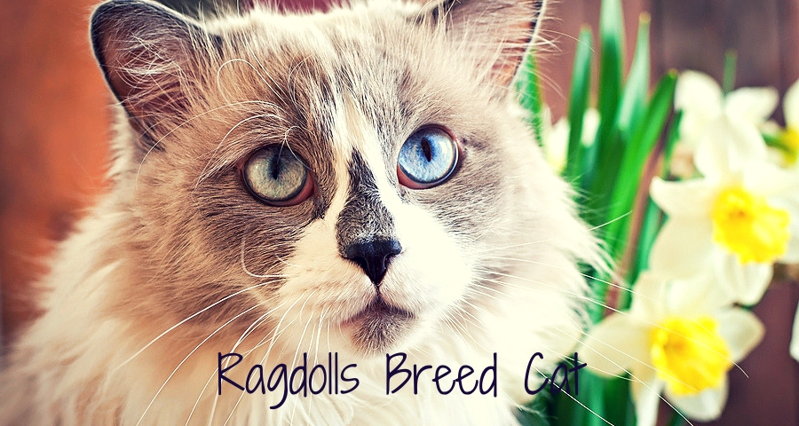 Ragdoll cat breed and a vase of narcissus