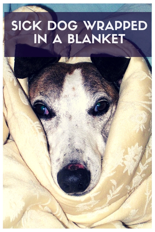 Sick dog wrapped in a blanket