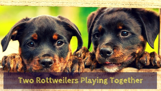 Two Rottweilers playing together