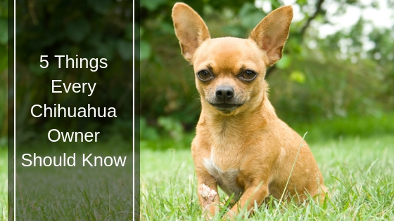 5 Things Every Chihuahua Owner Should Know