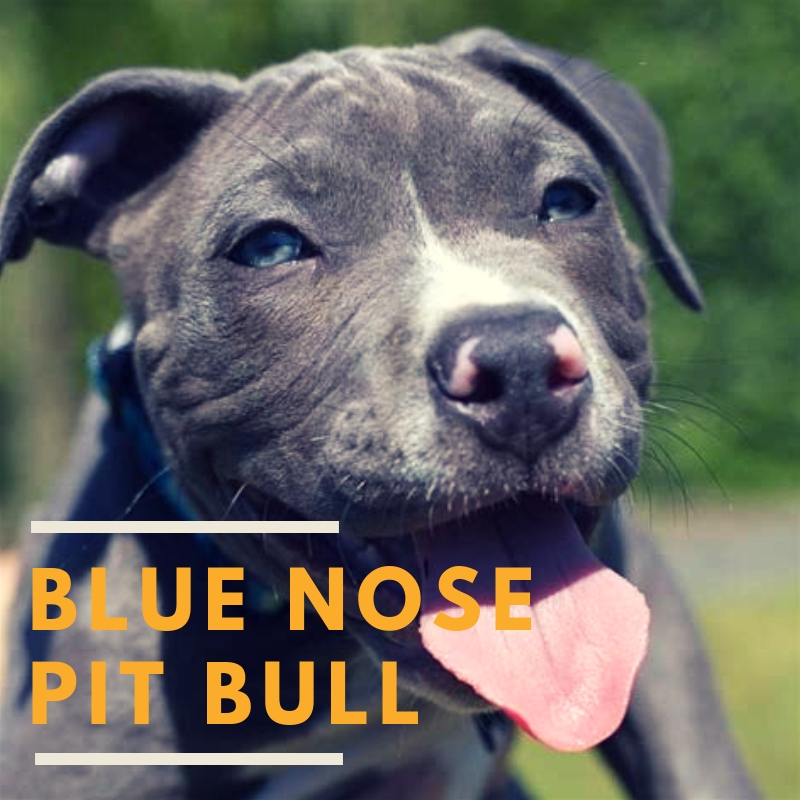 The Blue Nose Pit Bull