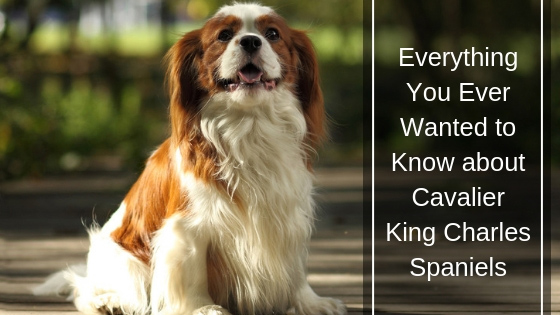 Everything You Ever Wanted to Know About Cavalier King Charles Spaniels