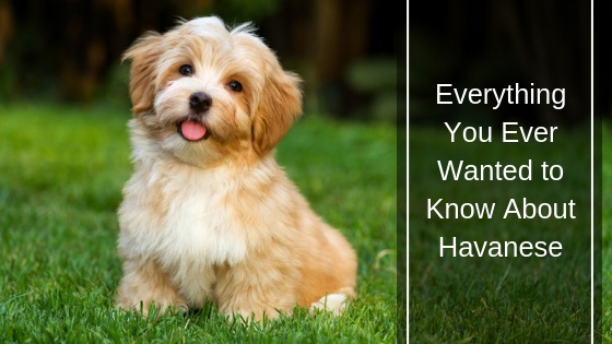 Everything You Ever Wanted to Know About Havanese