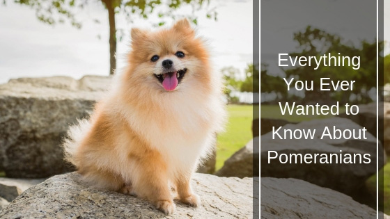 Everything You Ever Wanted to Know About Pomeranians