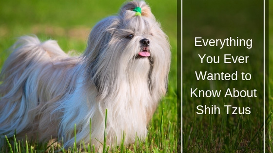 Everything You Ever Wanted to Know About Shih Tzus