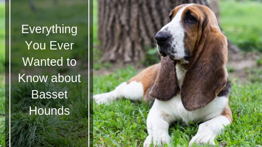 Everything You Ever Wanted to Know about Basset Hounds