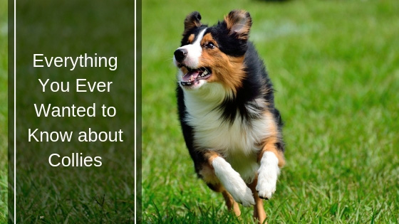 Everything You Ever Wanted to Know about Collies