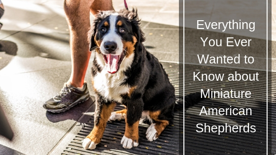Everything You Ever Wanted to Know about Miniature American Shepherds