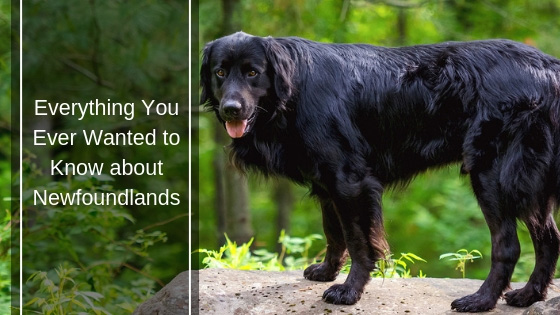 Everything You Ever Wanted to Know about Newfoundlands