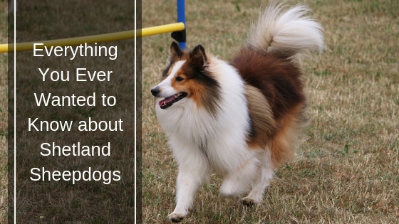 Everything You Ever Wanted to Know about Shetland Sheepdogs HI