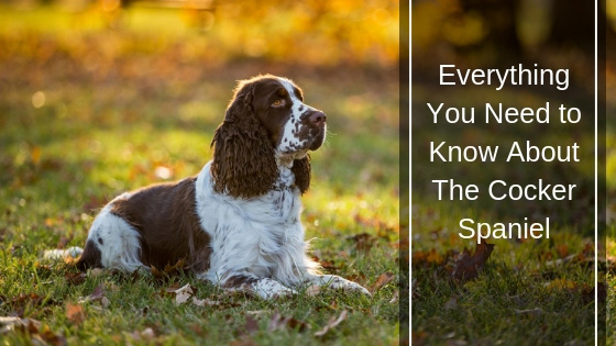 Everything You Need to Know about the Cocker Spaniel