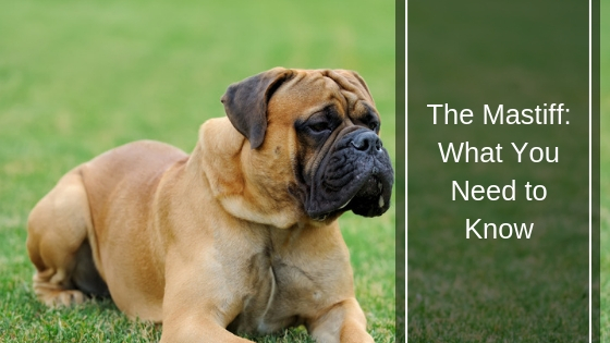 The Mastiff What You Need to Know