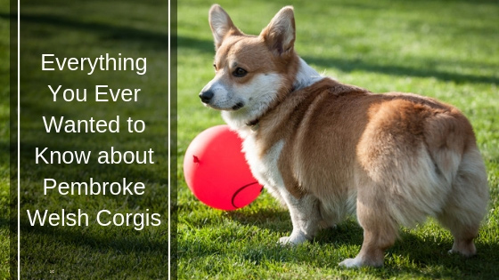Everything You Ever Wanted to Know About Pembroke Welsh Corgis