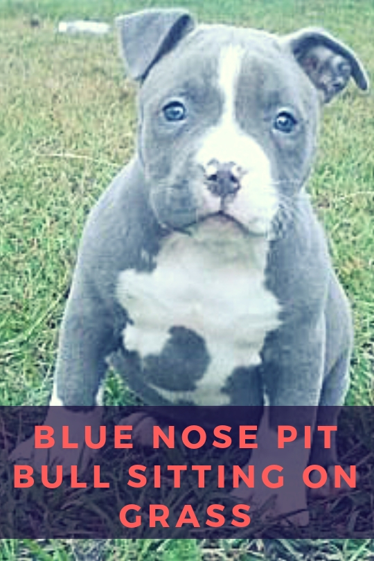 Blue Nose Pit Bull sitting on Grass