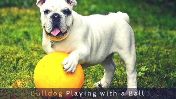 Bulldog Playing with a Ball