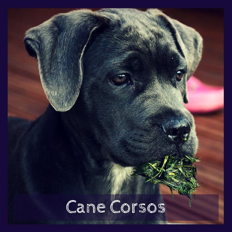 Cane Corsos