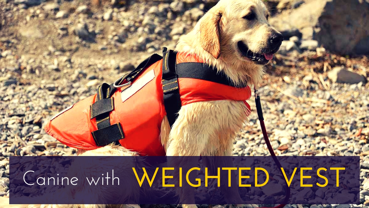 Canine with Weighted Vest