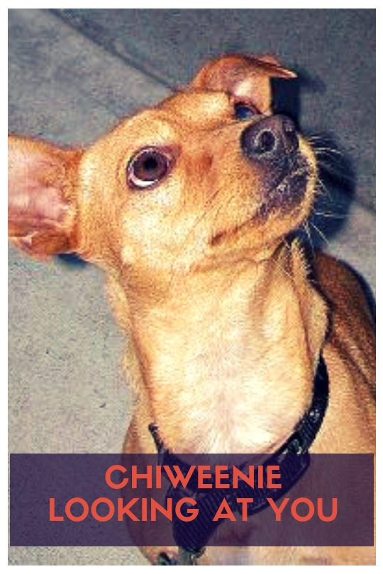 Chiweenie Looking at You