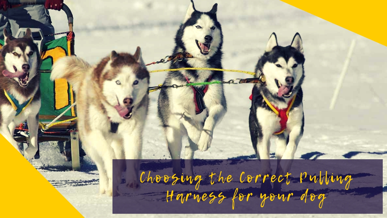 Choosing the Correct Pulling Harness