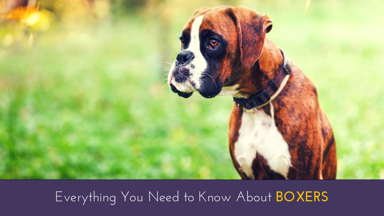 Everything You Need to Know About Boxers