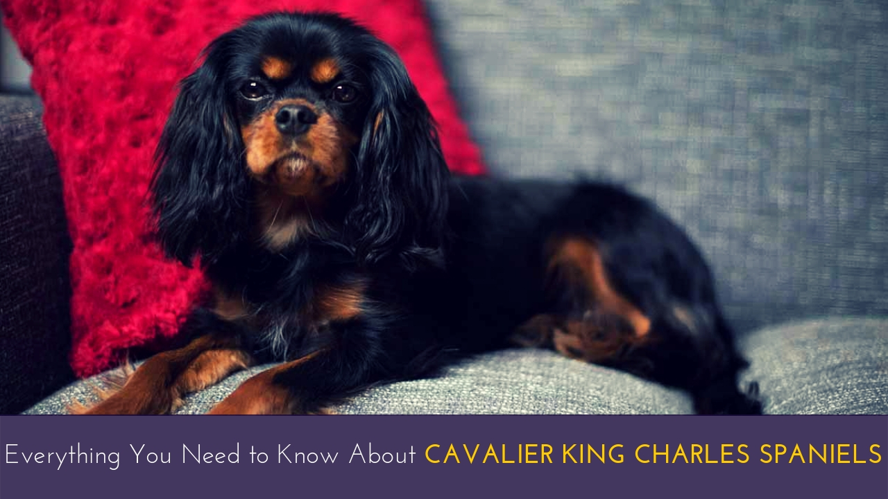 Everything You Need to Know About Cavalier King Charles Spaniels