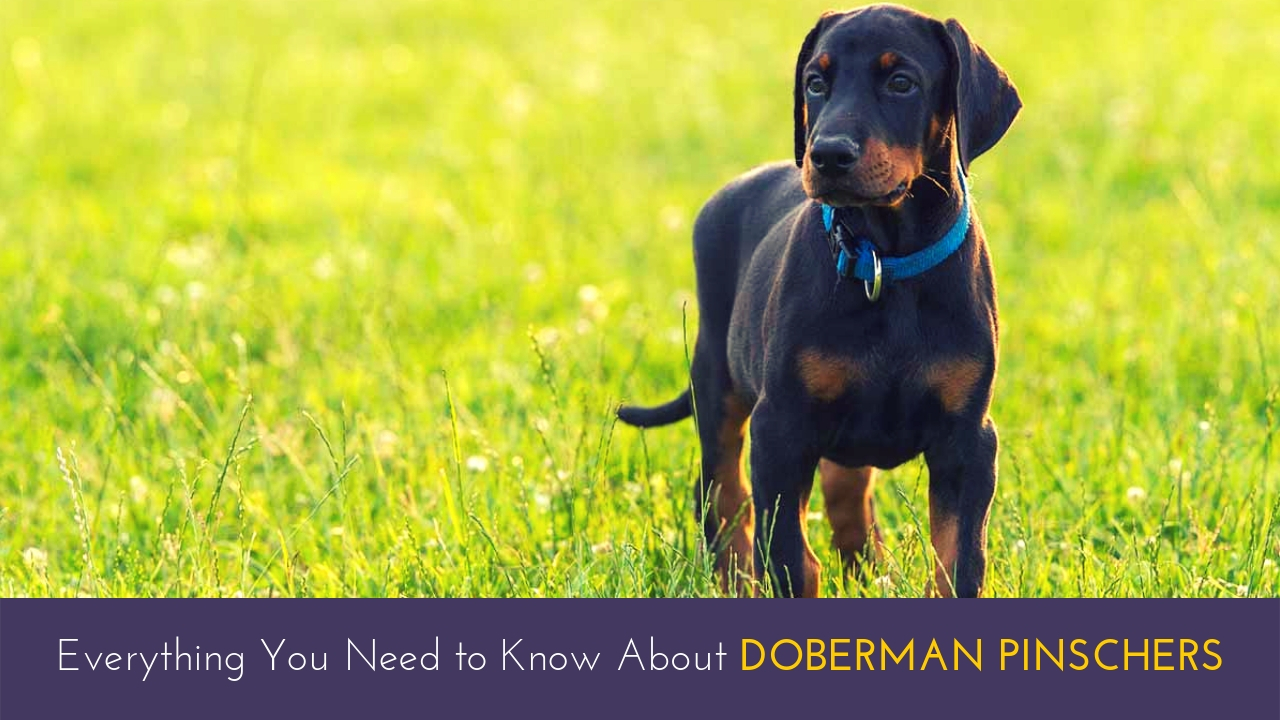 Everything You Need to Know About Doberman Pinschers