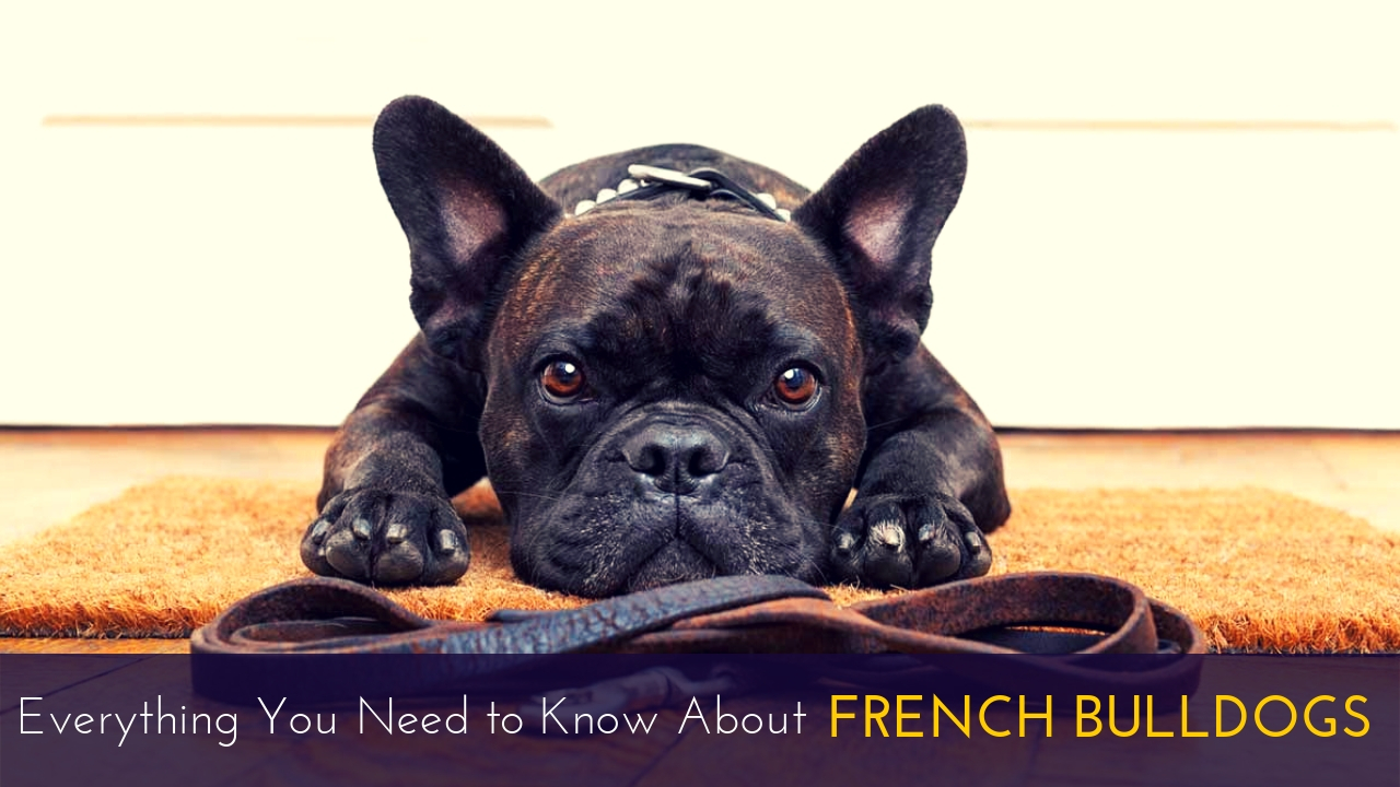 Everything You Need to Know About French Bulldogs