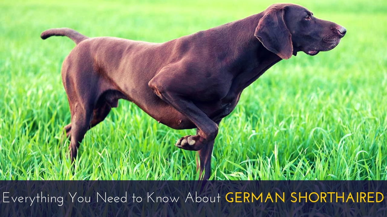 Everything You Need to Know About German Shorthaired