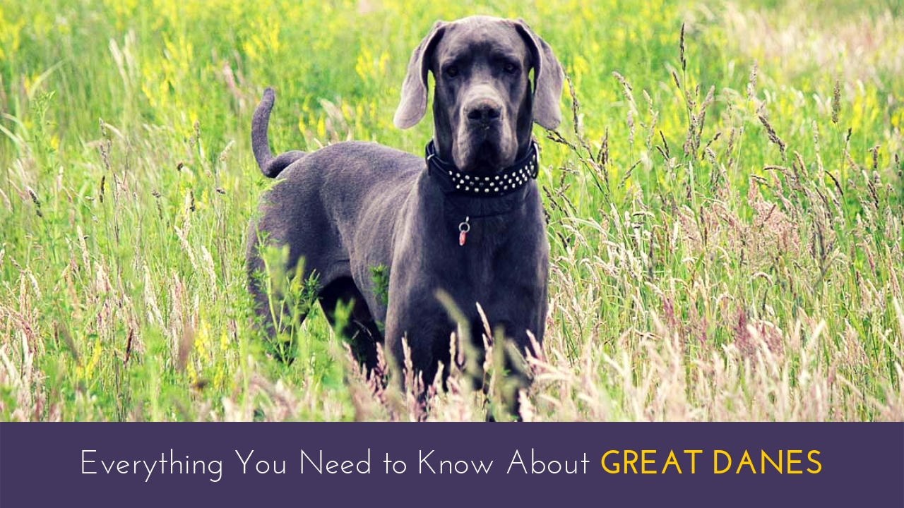Everything You Need to Know About Great Danes