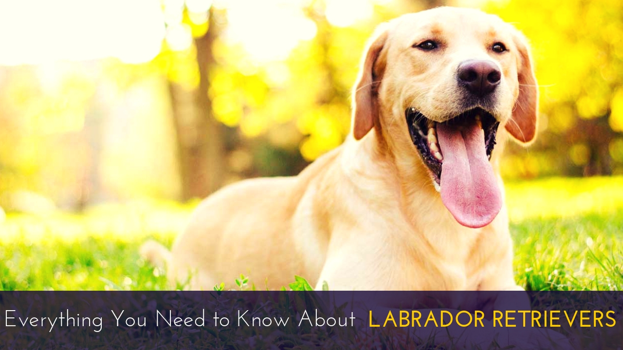 Everything You Need to Know About Labrador Retrievers