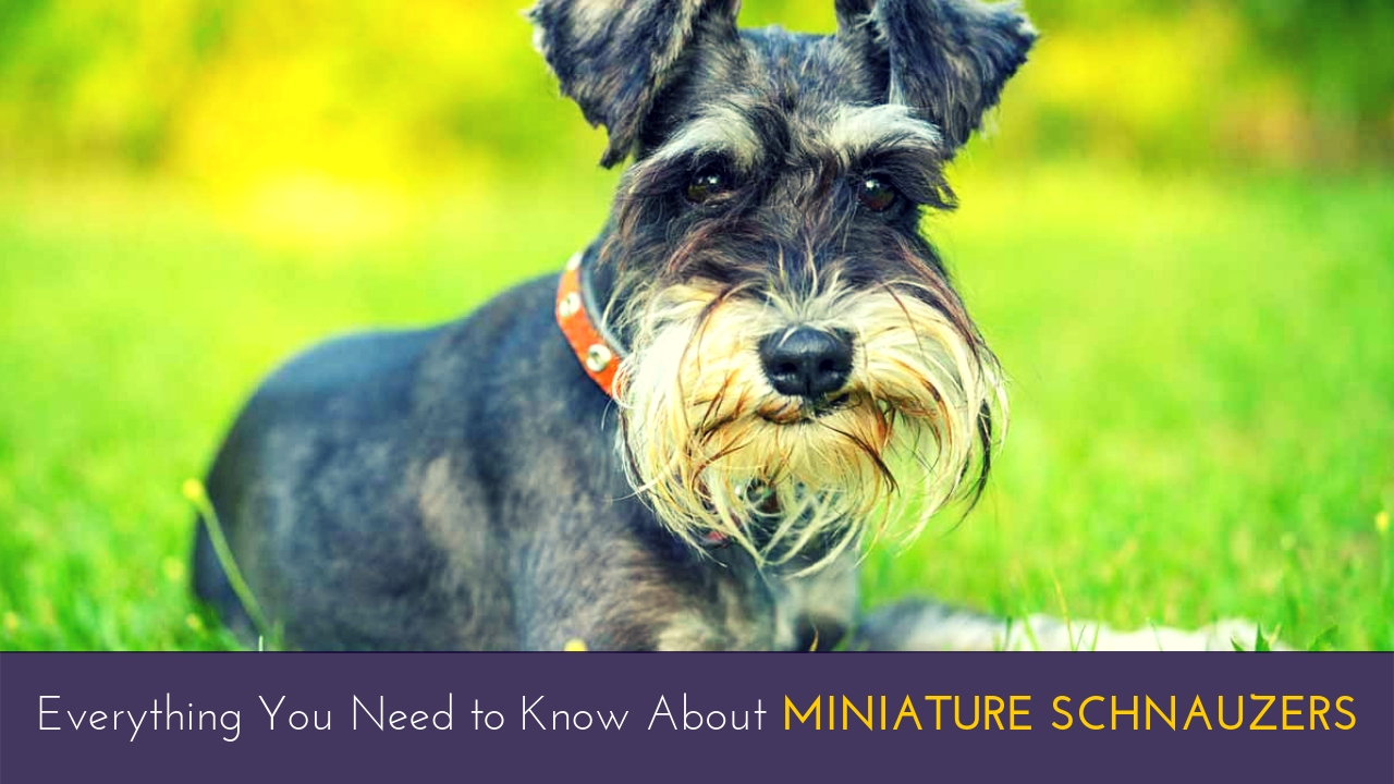 Everything You Need to Know About Miniature Schnauzers
