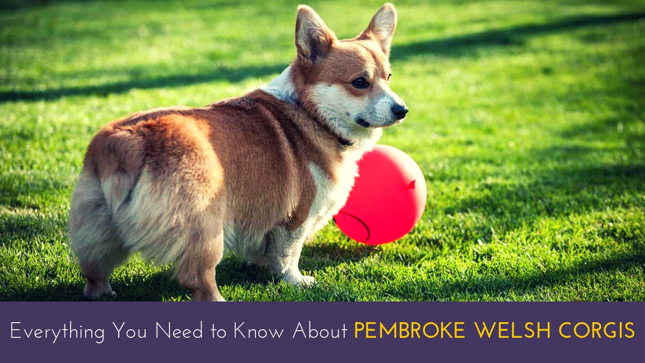 Everything You Need to Know About Pembroke Welsh Corgis