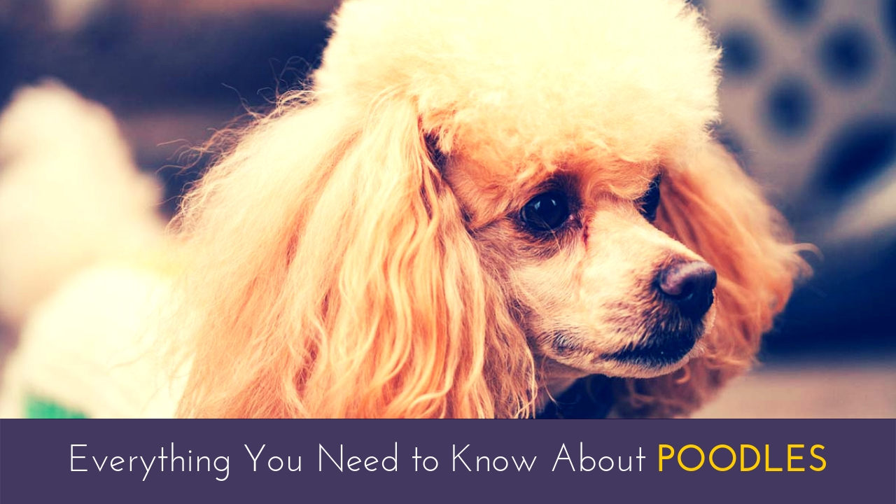 Everything You Need to Know About Poodles