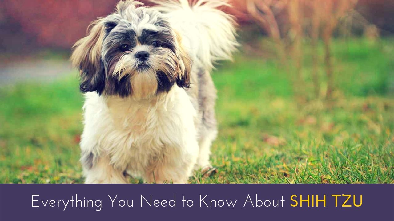 Everything You Need to Know About Shih Tzu