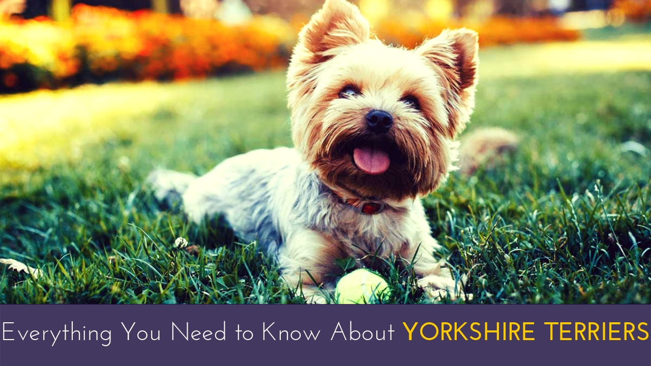 Everything You Need to Know About Yorkshire Terriers