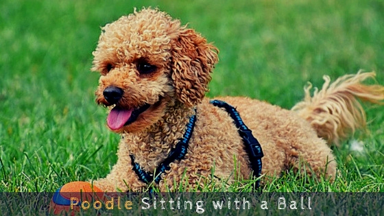 Poodle Sitting with a Ball